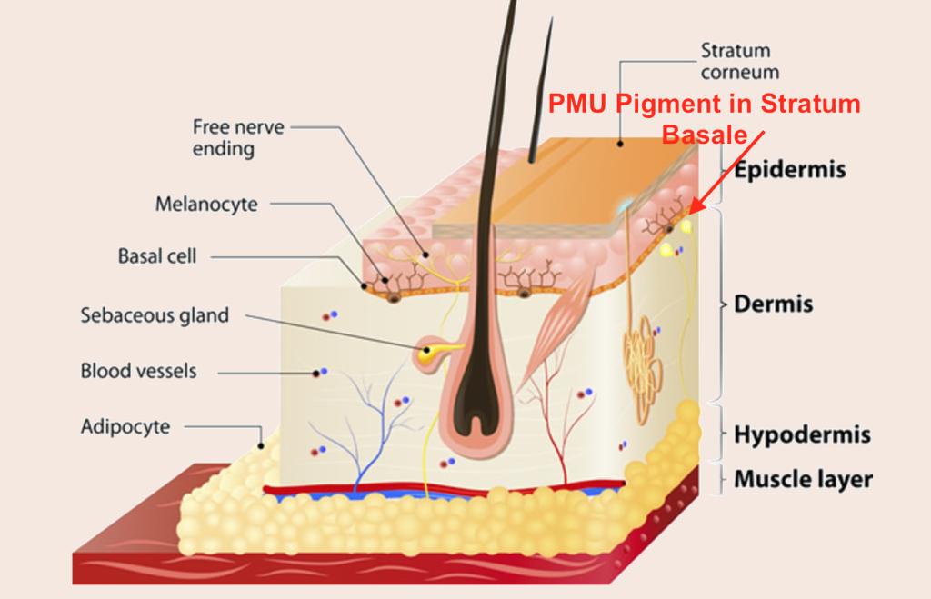 Anatomie van de huid dermatopigmentatie